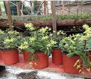 铁皮石斛家庭中花盆可种植的技术图片