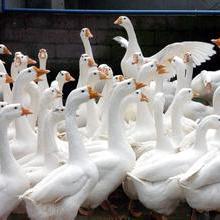供应山东大白沙鹅市场行情怎样/养鹅的成本/养鹅的利润与前景如何批发