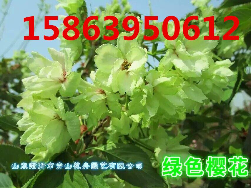 供应緑色樱花.红色樱花.白色樱花