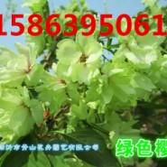 緑色樱花.红色樱花.白色樱花图片