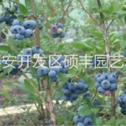 杰兔蓝莓苗图片