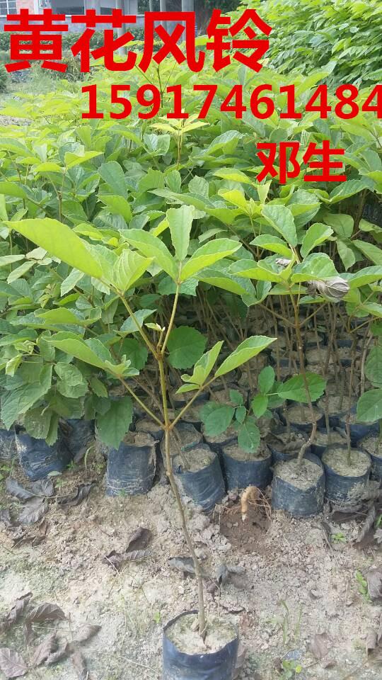 供应用于绿化造林的广东广州黄花风铃木出售便宜价格,南方黄花风铃树袋苗供货商,黄花风铃木种苗报价,黄花风铃木批发商
