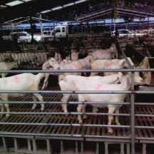 厂家直销各种山羊苗