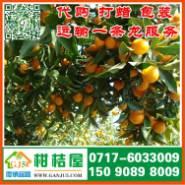 朔州早熟桔子图片
