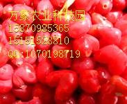 万象农业经营各种特色水果@爱情圣果相思果@种苗批发!!
