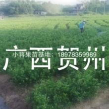 供应贺州沙糖桔果苗,贺州沙糖桔果苗价格,贺州沙糖桔果苗批发