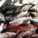 供应2016丰产鲫鱼水花夏花冬片成鱼。