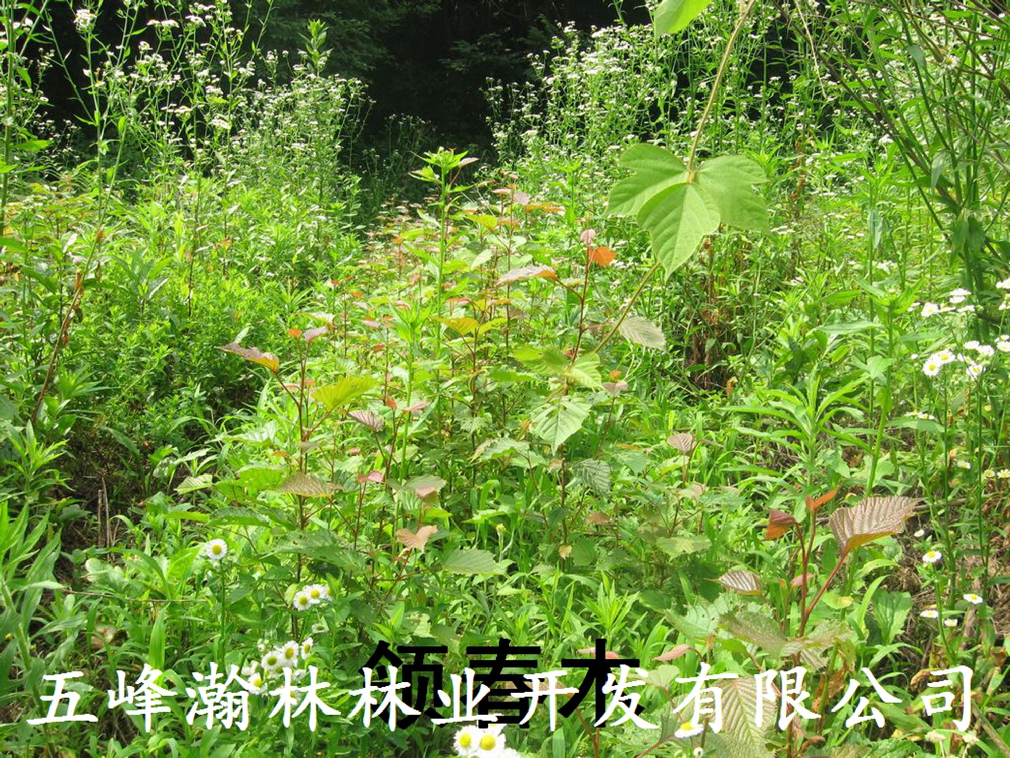 领春木(lingchunmu)