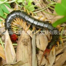 供应用于药用的蜈蚣种苗。蜈蚣干品,活体蜈蚣