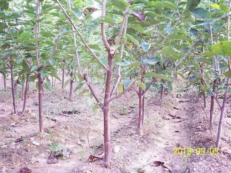 樱桃树苗种植基地价格