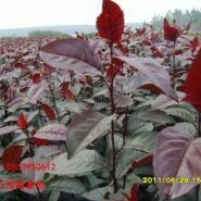 供应红花红叶海棠小苗.贵人果图片
