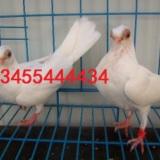 供应新疆观赏鸽养殖基地,新疆观赏鸽养殖技术,新疆观赏鸽养殖基地电话