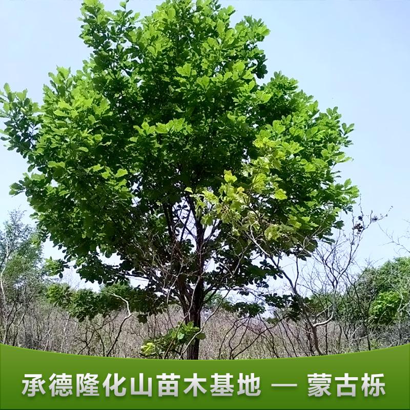 苗木基地园林苗圃绿化树蒙古栎批发批发