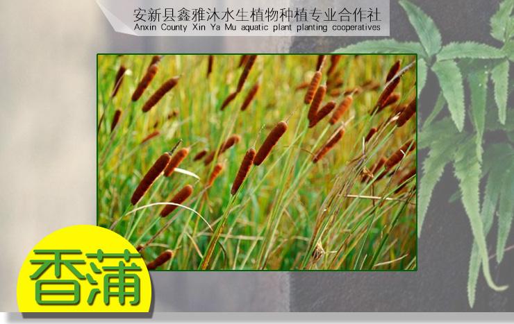 供应香蒲种植,荷花种植,种植睡莲,芦苇苗,种植香蒲技术与方法 铁岭香蒲种植 铁岭香蒲种植厂家