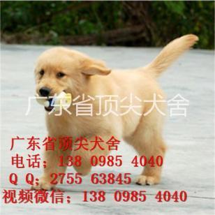 赛级大头金毛幼犬图片
