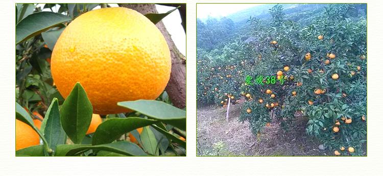供应爱媛30 果苗批发 品种之高糖红色甜桔苗爱媛30号