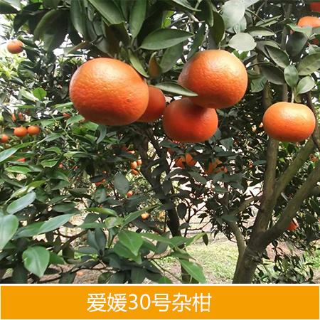 供应爱媛30号杂柑种苗厂家批发