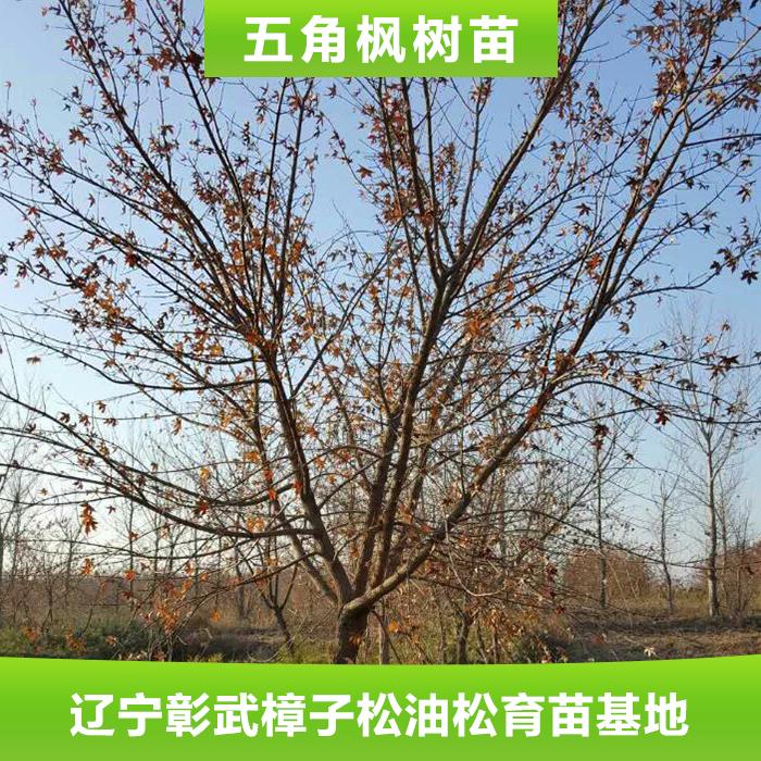 专业供应 优质五角枫树苗 多种规格 落叶性风景绿化五角枫苗