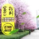 广西宫粉紫荆图片