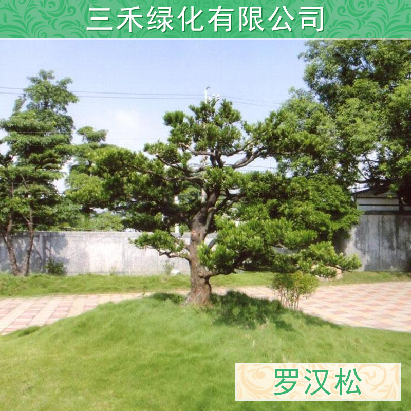 供应罗汉松批发 罗汉松树 罗汉松盆景 罗汉松盆栽地栽苗