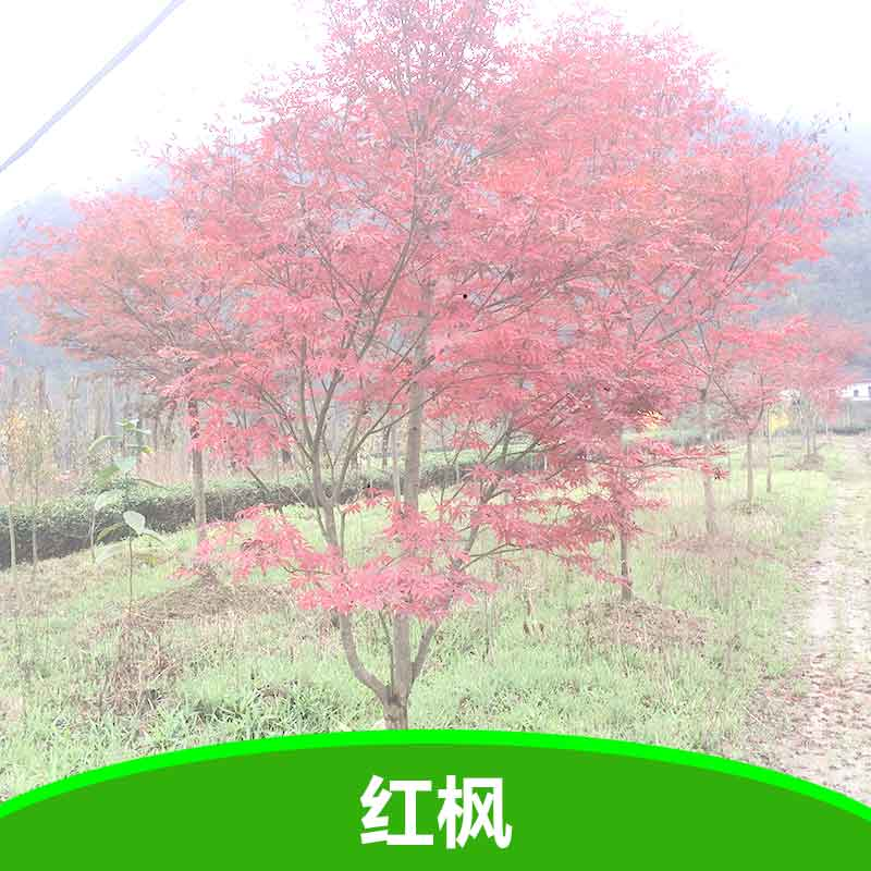 供应红枫 红枫大苗 红枫树苗 湖北五峰瀚林林业