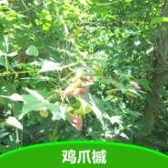 鸡爪槭树 鸡爪槭种子图片