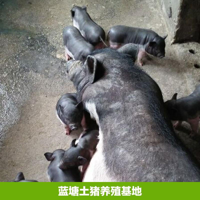 养殖蓝塘有土猪供应,蓝塘有土猪养殖学费圣母高中