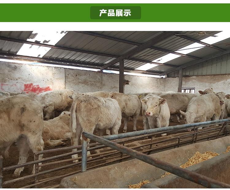 出售 鲁西黄牛 利木赞牛 夏洛莱牛 改良肉牛