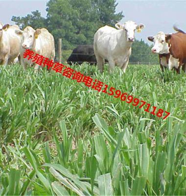 多年生黑麦草图片/多年生黑麦草样板图 (2)