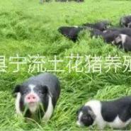 儿时的记忆,那些年我们只养宁乡猪图片