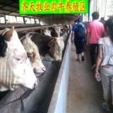 供应用于养殖的西门塔尔牛山东菏泽正规养牛场出售西门塔尔牛