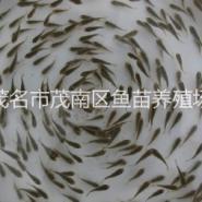 罗非鱼苗茂名市茂南区鱼苗养殖场图片