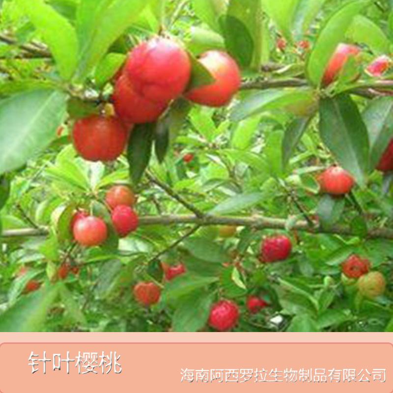 海南针叶樱桃价格销售
