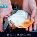 广东白鲳鱼苗养殖 白鲳鱼苗哪里有卖 肇庆白鲳鱼苗批发