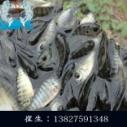 肇庆罗非鱼苗批发,广东罗非鱼苗供应商,广东草鱼苗供应商,鱼苗批发