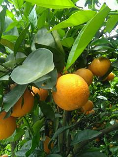 供应新鲜夏橙,时令夏季水果秭归供应商夏橙孕妇榨汁橙子脐橙批发