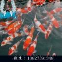 广东锦鲤鱼苗养殖 锦鲤鱼苗哪里有卖  肇庆锦鲤鱼苗批发