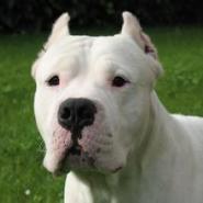 阿根廷杜高犬图片