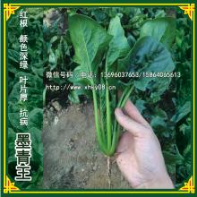 供应用于菠菜基地种植的墨青王菠菜种子 红根菠菜种子批发