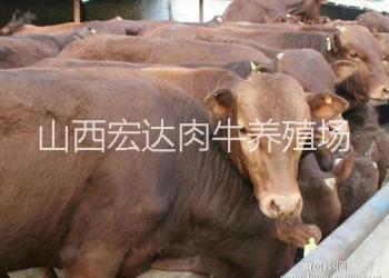 利木赞牛图片