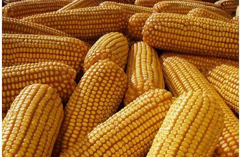 玉米图片/玉米样板图 (2)