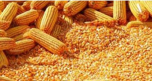 玉米图片/玉米样板图 (4)