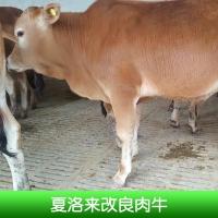 夏洛来改良肉牛养殖、夏洛来改良肉牛价钱、夏洛来肉牛、山东养殖场、夏洛来改良肉牛、改良牛 山东夏洛来改良肉牛养殖