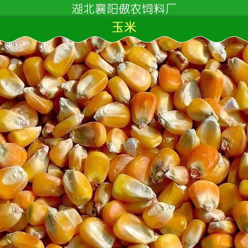 玉米、小麦、高粱、大豆图片/玉米、小麦、高粱、大豆样板图 (2)