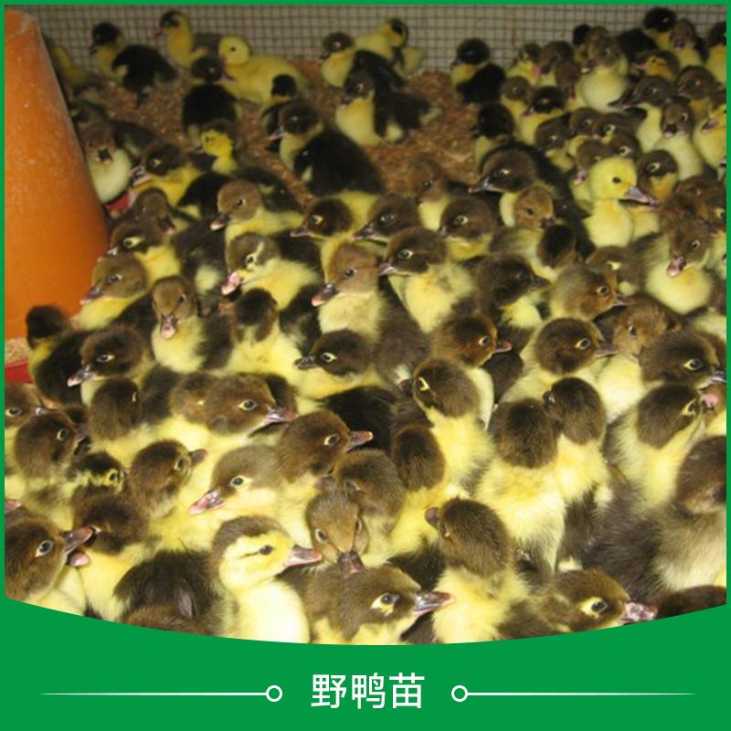 广州野鸭苗 洋鸭苗 广东鸭苗养殖场 水鸭苗 蛋鸭苗 广州鸭苗养殖 鸭苗养殖 大种鸭苗