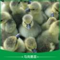 广州马岗鹅苗 马岗鹅鹅苗 黑脚马岗鹅苗 广州鹅苗养殖 鹅苗养殖 广东马岗鹅苗