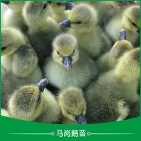广州马岗鹅苗