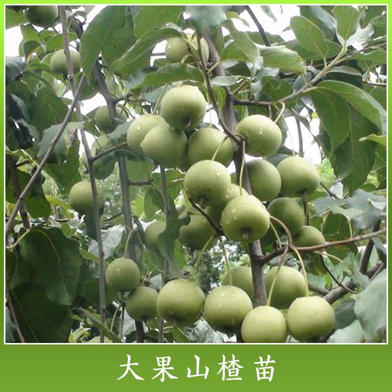 优质水果树苗木 大果山楂苗新品种