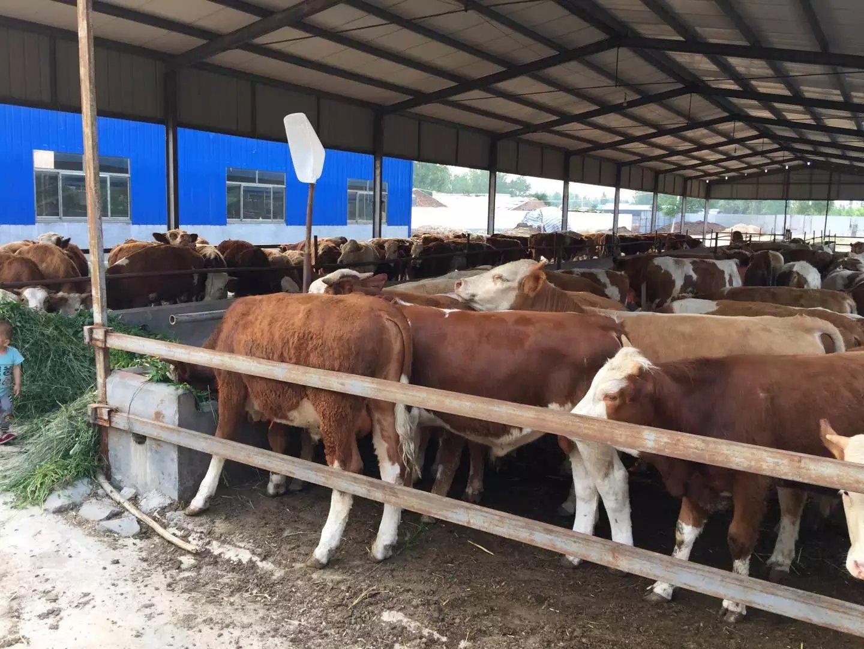 种牛鲁西黄牛批发  肉牛鲁西黄牛  肉牛价格 西门塔尔牛、利木赞牛