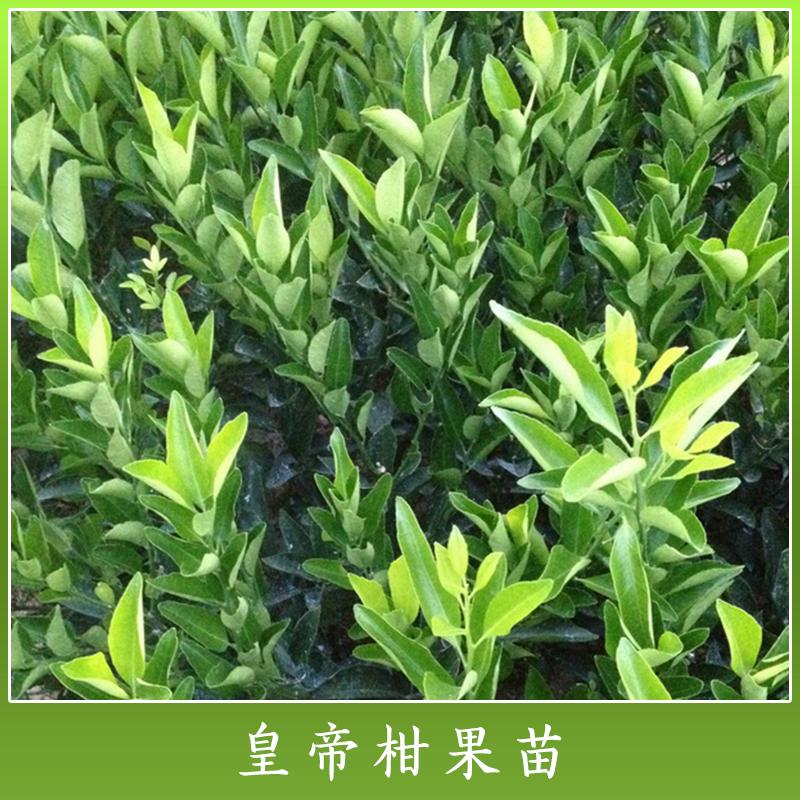 云南高产皇帝柑果苗批发价 云南优质皇帝柑杂柑种苗种植基地